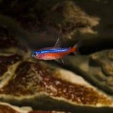 Tetra de néon cardinal - axelrodi do paracheirodon Fotografia de Stock Royalty Free
