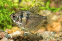 Tetra fish in the aquarium Royalty Free Stock Photography