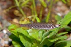 Tetra fish Stock Photography