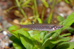 Tetra fish. Nice aquarium tetra fish from genus Copella Stock Photography