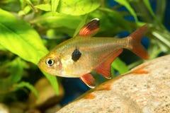 Tetra fish Stock Images