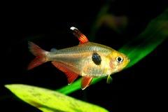 Tetra fish Stock Image