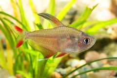 Tetra fish Royalty Free Stock Images