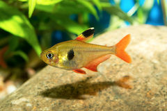 Tetra fish Stock Images