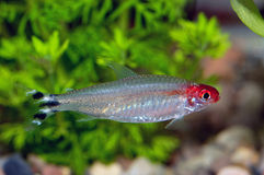 Tetra fish Royalty Free Stock Image