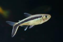 Tetra fisk för pingvin Royaltyfria Bilder