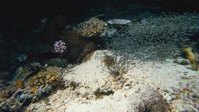 Tetra penguinfish di blackline di thayeria boehlkei dello sciame del pinguino subacquei immagini stock libere da diritti