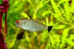 Tetra pescados Foto de archivo libre de regalías