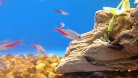 Tetra pescados de neón