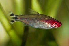 Tetra pescados falsos de Rummynose Fotografía de archivo libre de regalías