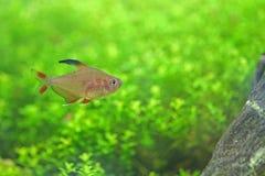 Tetra ryba Obraz Stock