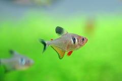 Tetra ryba Zdjęcie Stock