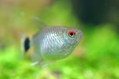 Tetra ryba Zdjęcia Royalty Free