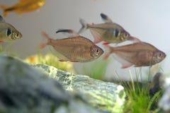 Tetra ryba Zdjęcie Royalty Free