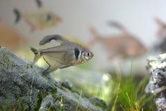 Tetra ryba Obrazy Stock