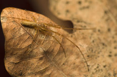 Tetragnatha Stock Photography