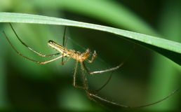 Tetragnatha sp. Stock Photo