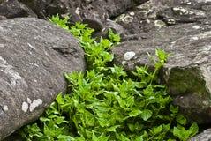 Tetragonia - plantas del archipiélago de los acores Fotografía de archivo