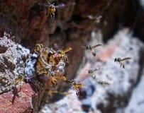 Tetragonisca angustula小组 免版税库存图片