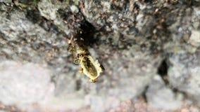 Tetragonisca angustula的一个无刺的蜂巢Eusocial社区的顶视图 股票视频