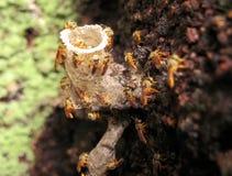Tetragonisca angustula蜂箱的蜡入口 图库摄影