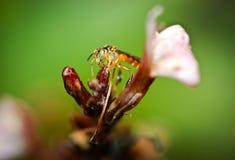 Tetragonisca-angustula Makrophotographie auf einer Blume Stockfotografie