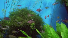 Tetragonopterus in freshwater aquarium stock footage video. Tetragonopterus in a freshwater aquarium stock footage video stock video
