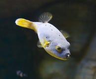 Tetraodon Стоковое фото RF