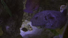 Tetraodon is a genus in the pufferfish family stock footage video stock footage