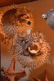 Pufferfish stock image