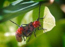 Tetraopes tetrophthalmus. Red milkweed beetle (Tetraopes tetrophthalmus stock image