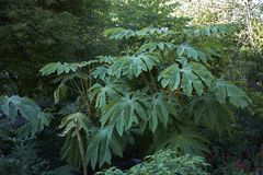 Tetrapanax papyrifer shrub royalty free stock photography
