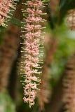 Tetraphylla de la macadamia Foto de archivo