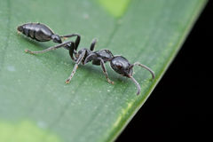 A Tetraponera sp ant on green leaf Stock Image