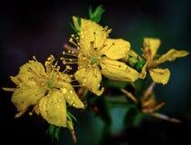 Tetrapterum de Hypericaceae images libres de droits