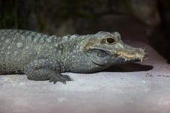 Tetraspis Osteolaemus крокодила карлика Стоковое Изображение