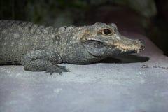 Tetraspis Osteolaemus крокодила карлика Стоковая Фотография