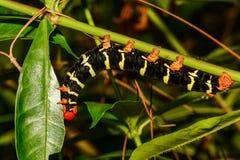 Tetriosfinx Caterpillar royalty-vrije stock fotografie