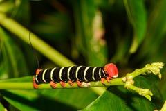 Tetriosfinx Caterpillar stock foto's