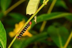 Tetriosfinx Caterpillar royalty-vrije stock afbeeldingen