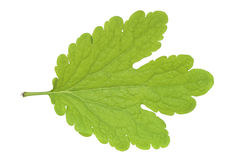 Tetterwort leaf Stock Images