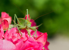 Tettigonia cantans portrait Royalty Free Stock Photos