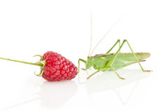 Tettigonia Viridissima Photo stock