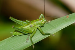 Tettigonia viridissima Royalty Free Stock Images