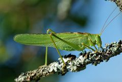Tettigonia Viridissima Royalty Free Stock Photos
