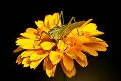 Tettigonia viridissima 库存照片
