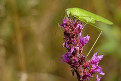 Phaneroptera falcata Royalty Free Stock Photography