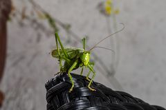 Tettigonia viridissima, the great green bush cricket stock photo