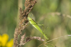 Tettigonia viridissima, the Great Green Bush-Cricket Stock Photos