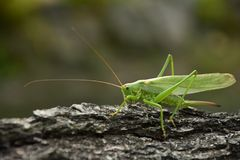 Tettigonia viridissima. Green grasshopper on the old tree bark. stock photo